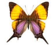 Marpesia Daggerwing Swallowtail motyl Obrazy Stock
