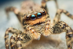 Marpissa muscosa女性跳的蜘蛛 免版税库存图片