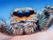 Marpissa muscosa jumping spider   Stock Image