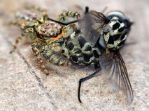 Marpissa muscosa jumping spider. Marpissa muscosa jumping spider eating a fly Stock Image