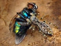 Marpissa muscosa jumping spider. Marpissa muscosa jumping spider eating a fly Royalty Free Stock Photos