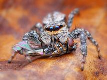 Marpissa muscosa jumping spider. Eating a fly Stock Photography