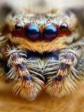 Marpissa muscosa jumping spider. Marpissa muscosa jumping spider head closeup Royalty Free Stock Image