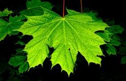 marple листьев Стоковые Изображения RF