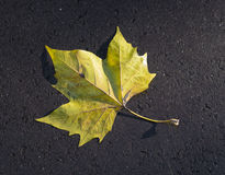 Marple leaf Royalty Free Stock Photography