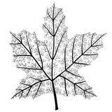 Marple leaf Stock Photo
