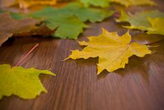 Marple leaves, shallow focus Royalty Free Stock Images