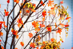 Marple tree with orange leaves at the white window with shutters Stock Photo