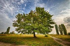 Marple tree in a park Royalty Free Stock Photos