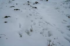 Marques de lièvres sur la neige Photo libre de droits