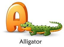 Marquez avec des lettres A est pour l'alphabet de bande dessinée d'alligator Photographie stock