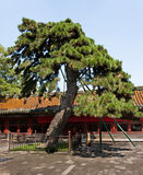 Marquis of Shade, Beihai Park, Beijing. This two-needle Chinese pine, Pinus tabulaeformis, growing in the Circular City, has 800 years of history Royalty Free Stock Photography