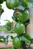 Marquisa Telur Kodok passion fruit in Bali Stock Image