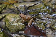Marrón agradable animal del sharpwet del agua de río de la rana Foto de archivo libre de regalías