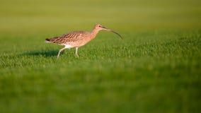 Marrón claro del pájaro de Ibis y blanco jovenes en hierba verde Fotos de archivo libres de regalías