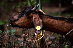 Marrón de la cabra en color fotografía de archivo