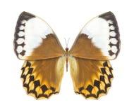 Marrón de la mariposa Imágenes de archivo libres de regalías
