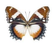 Marrón de la mariposa fotografía de archivo