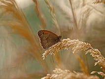 Marrón de la mariposa imagen de archivo libre de regalías