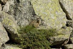 Marrón de la marmota Fotos de archivo