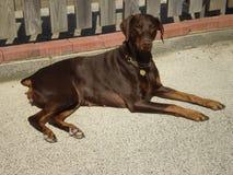 Marrón de la perra de Dobermann Imagen de archivo libre de regalías