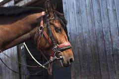 Marrón del caballo Fotografía de archivo libre de regalías