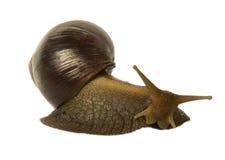Marrón del fulica de Achatina del caracol Imagenes de archivo