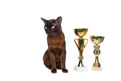 marrón del gato, marrón con los ojos verdes grandes con las tazas que ganan, trofeos encendido en un fondo aislado Imagenes de archivo