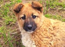 Marrón del perrito Imagen de archivo libre de regalías