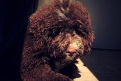 Marrón del perro de perrito fotografía de archivo