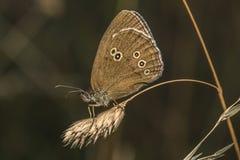 Marrón del prado (hyperantus de Aphantopus) Imagenes de archivo