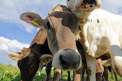 Marrón joven y vacas del Simmental fotos de archivo libres de regalías