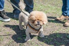 Marrón lindo y divertido que prepara el perro pekingese en backg de la hierba verde fotos de archivo