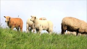 Marrón y blanco de la familia de las ovejas almacen de metraje de vídeo