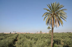 marrakech oliwnej plantaci drzewa Fotografia Royalty Free