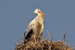 marrakech storkwhite Arkivbild
