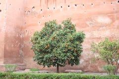 Marrakesch-Orangenbaum stockfotos