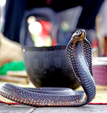 The cobra waiting in Marrakech Royalty Free Stock Photos
