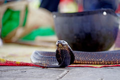 The cobra waiting in Marrakech Royalty Free Stock Images