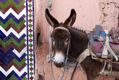 Marrakesh Morocco, urban donkey Royalty Free Stock Photos