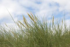 Marram grass Royalty Free Stock Photography