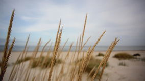 Marram grass stock video