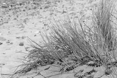 Marram grass. A dune at the German Baltic Sea stock photography