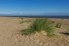 Marram Grass (Ammophila Arenaria) Royalty Free Stock Images