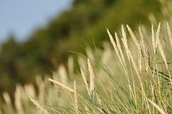 Marram grass Stock Image