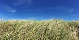 Marram grass. In front of bright blue sky stock photo