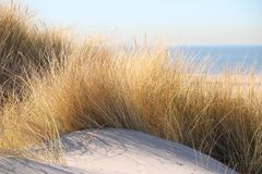 Marram grass in the sunlight at the dunes of Monster along North Sea Coast in the Netherlands. Marram grass in the sunlight at the dunes of Monster along North stock photo