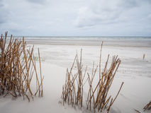 Marram grasses in dunes on Ameland Royalty Free Stock Photos