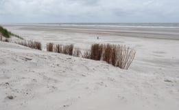 Marram grasses in dunes on Ameland Stock Images