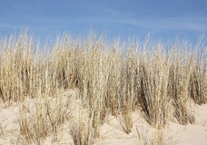 Marram Obrazy Royalty Free